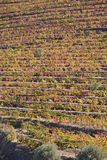 Vineyards at Douro river valley, Portugal Stock Photo
