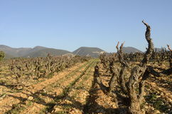 Vineyards in Drome provencal in France Stock Images
