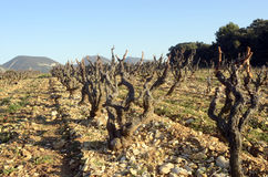 Vineyards in Drome provencal in France Royalty Free Stock Photos