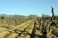 Vineyards in Drome provencal in France Stock Photos