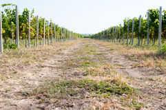 Vineyards. On each part of a road stock photos