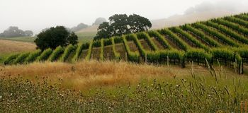 Vineyards in early morning Stock Photos