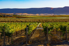 Vineyard Eastern Washington. The sunlight ripens the grapes for a bountiful harvest in time for the annual stomping of the grapes Royalty Free Stock Photography