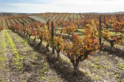 Vineyards in the fall Royalty Free Stock Photos