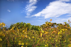 Vineyards Fall Blue Sky Napa California Royalty Free Stock Image