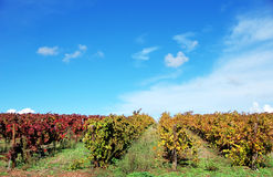 Vineyards in the fall season,  Portugal. Vineyards in the fall season, Alentejo, Portugal Stock Photos