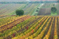 Vineyards in the fall with tree, South Moravia stock photo