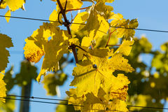Vineyards in fall Stock Photography