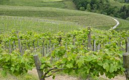 Vineyards and farm for the production of white wine Stock Photos