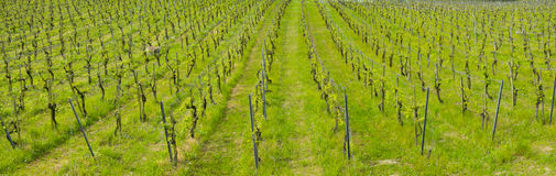 Vineyards, farm for the production of wine Royalty Free Stock Photos