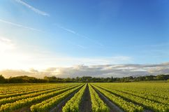 Vineyards. Field cultivation of vines for winemaking Royalty Free Stock Image