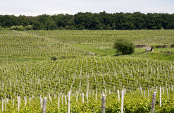 Vineyards field Royalty Free Stock Photo