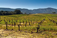 Vineyards in the foothills. Stock Images