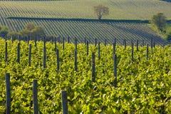 Vineyards in France stock photo