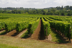 The vineyards of France. Gorgeous singing vineyards of France stock photo