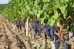 Vineyards in France. Vineyards in Bordeaux, France. A vineyard in the St Emillion region on a very sunny day stock image