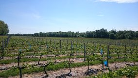 Vineyards Royalty Free Stock Photo