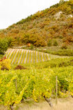 Vineyards in french countryside, Drome, Clairette de Die royalty free stock image