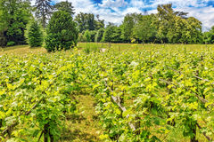 Vineyards in the French countryside Stock Images