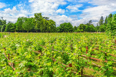 Vineyards in the French countryside Stock Image