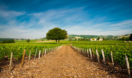 Vineyards of Frontenas village, Beaujolais, France Royalty Free Stock Images