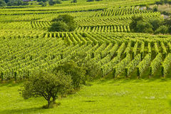Vineyards and fruit trees in Alsace (France) Stock Image
