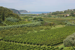 Vineyards and fruit trees, Slovenia. Vineyards and fruit trees landscape, Piran, Slovenia Royalty Free Stock Images