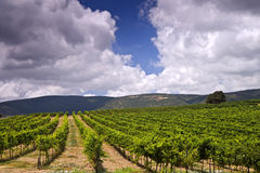 Vineyards in the Galilee. Rolling vineyards in the Galilee Israel Royalty Free Stock Photos