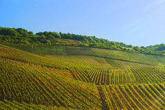 Vineyards in Germany Royalty Free Stock Images