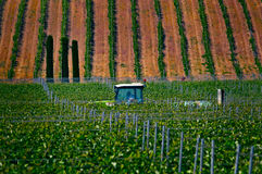 In the vineyards in Greece. In the vineyards in Epanomi, Thessaloniki, Greece royalty free stock image