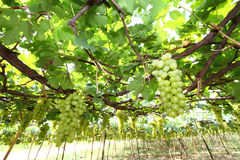 Vineyards Green Royalty Free Stock Images