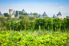 Vineyards growing outside the medieval fortress of Carcassonne i. N France Royalty Free Stock Photo