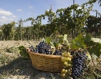 Vineyards, harvest Royalty Free Stock Photo