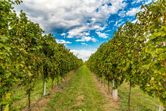vineyards before the harvest Stock Image