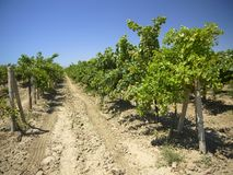 Vineyards in a heat Stock Photo