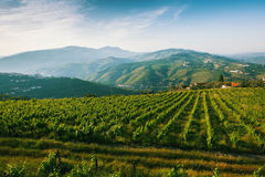 Vineyards are on a hills of the Douro Valley. Portugal Royalty Free Stock Image