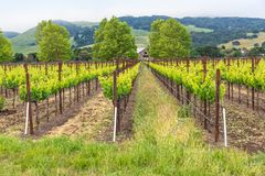 Vineyards in The Hills Lush Green royalty free stock images