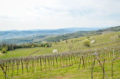 Vineyards on the hills of the Soave area near Verona in northern Italy Royalty Free Stock Image