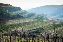 Vineyards on the hills in spring, Italy Royalty Free Stock Images