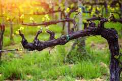 Vineyards. In the hills of Tuscany in spring close-up, Italy royalty free stock image