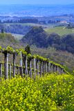 Vineyards. In the hills of Tuscany in spring and typical Tuscan landscape in the background, Italy stock photo