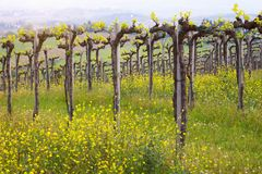 Vineyards in the hills of Tuscany stock images