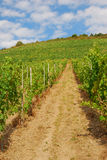 Vineyards on hils by the Mosel river valley. Grapes grow on the hills of the Mosel river valley in Germany's Eifel region Royalty Free Stock Photo