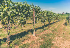 Vineyards and house under the sun Stock Photos
