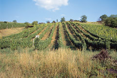 Vineyards in Hungary, Europe Royalty Free Stock Image