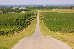 Vineyards in Ilok royalty free stock photos