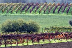 Vineyards In Autumn Royalty Free Stock Photos