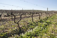 Vineyards In Winter Royalty Free Stock Photo