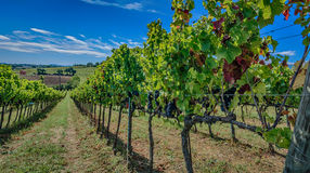 Vineyards from inside, Montefalco - Umbria - Italy stock photography