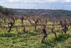 Vineyards in invern harvest Royalty Free Stock Photography